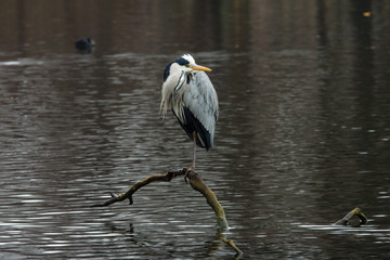 Grey heron (Ardea cinerea) standing on one leg in the middle of the lake.