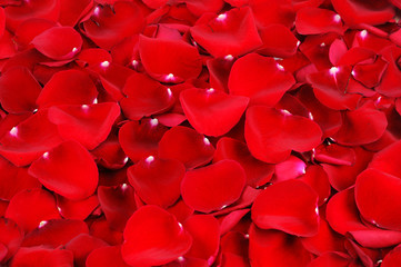 Wall Mural - red rose petal background