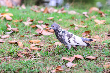 Cute pigeon on grass near lake in garden.