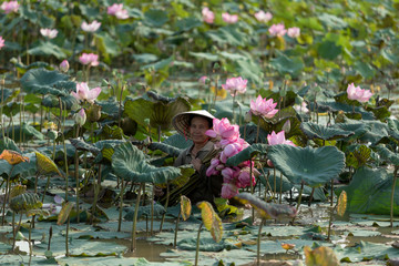 Woman collecting lotus, Thailand