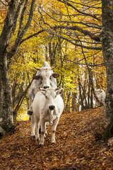 Mucca e toro si accoppiano in un bosco di faggi
