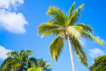 Coconut palm tree over bright blue sky