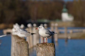 Möwen  (Rissa tridactyla) sitzen auf Holzpfahl.