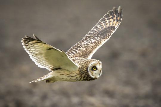 Short-eared Owl Asio flammeus flying