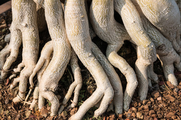 Wall Mural - Closeup of the nature tree roots