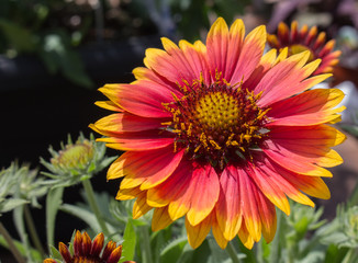 Perennial blanket flower red and yellow