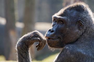 Das Porträt eines Gorillas