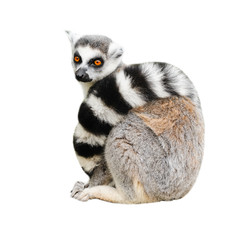 Portrait of adult lemur katta (Lemur catta) on white background