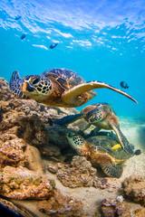 Hawaiian Green Sea Turtle cruising in the warm waters of the Pacific Ocean of Hawaii