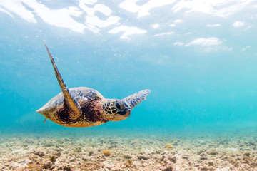 Wall Mural - Hawaiian Green Sea Turtle cruising in the warm waters of the Pacific Ocean in Hawaii