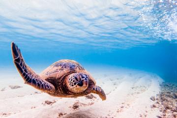 Wall Mural - Hawaiian Green Sea Turtle cruising in the warm waters of the Pacific Ocean in Hawaii