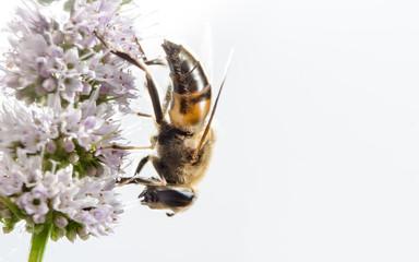 Insekt auf Blüte 6 (freigestellt)