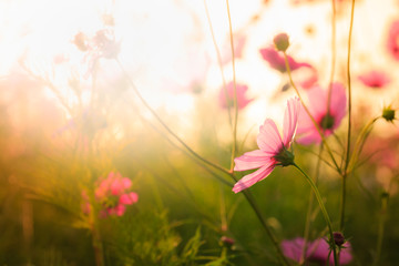 Cosmos flowers with Blur background