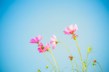 Cosmos flowers with blue background