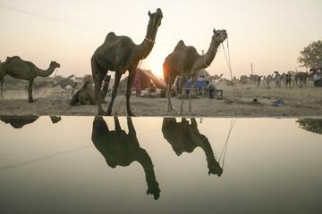 Pushkar, India-Nov 23, 2015:Camel herds or camel trader bring ca
