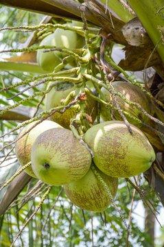coconut tree in garden , Cocos nucifera
