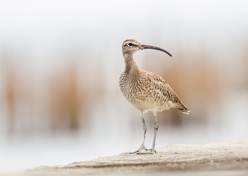 Portrait of Curious couple of Whimbrel(Numenius phaeopus) stair at us in nature of Thailand