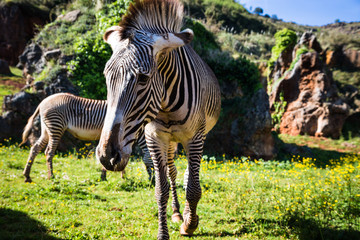 The Grevy s zebra (Equus grevyi), sometimes known as the imperia
