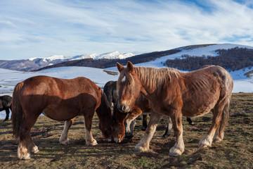Cavalli marroni selvaggi nella luce del tramonto. Montagne con neve sullo sfondo
