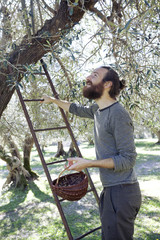 Handsome young Italian man on ladder picking fresh olives from a tree in the orchard outdoors in Tuscany