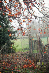 Ripe persimmons on the branches of the tree in a garden in autumn