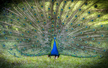 Portrait of peacock with expanded feathers.