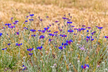 Cornflower meadow in Pasargad