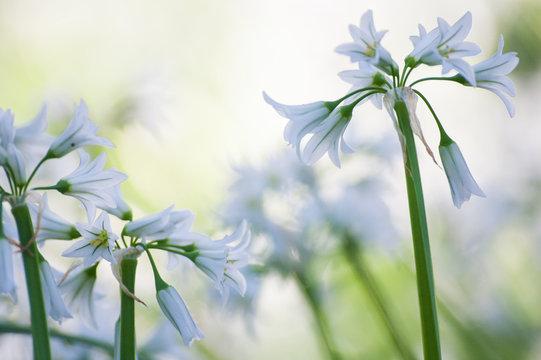 Masses of wild garlic flowers: urban wildflowers,