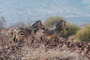 Hartmann-Bergzebras; Etendeka; Namibia