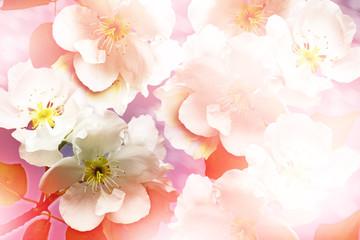 spring landscape. Flowering Pear