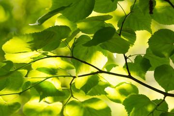 Sunlit common hornbeam, Carpinus betulus leafs