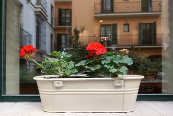 red Begonia on white metal pot