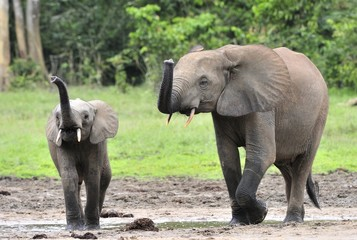 The elephant calf  with  elephant cow The African Forest Elephant, Loxodonta africana cyclotis. At the Dzanga saline (a forest clearing) Central African Republic, Dzanga Sangha