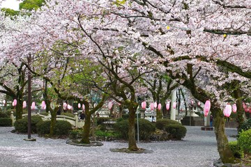 SAKURA IN FUJISAN SENGEN SHRINE ,FUJINOMIYA CITY, JAPAN