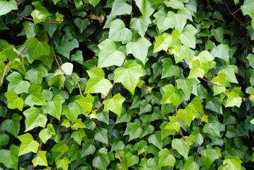 ivy leaves texture