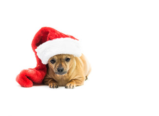 Chihuahua Wearing Christmas Stocking - Left Side