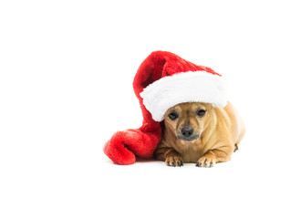 Chihuahua Wearing Christmas Stocking - Right Side