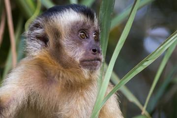 Macaco Prego - Sapajus gender - Mato Grosso - Brazil