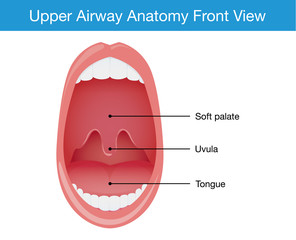 Upper airway human anatomy diagram in top view.
