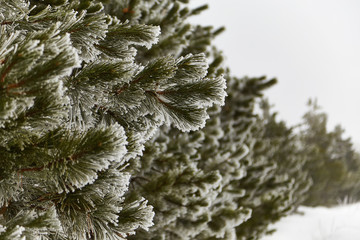 pine wood in the winter