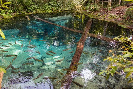 Source of the Salobra river with fishes piraputanga, piau, doura