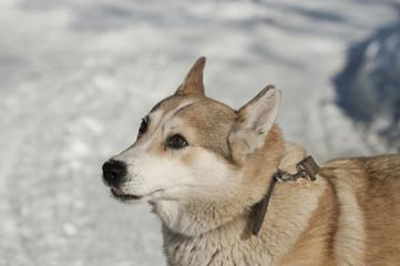 Husky 2/Photo purebred Siberian husky