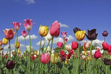 Fototapete - buntes Tulpenbeet an einem Frühlingstag