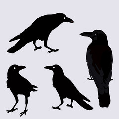 vector silhouette of a crows in different positions.