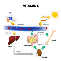 Schematic diagram of vitamin D metabolism