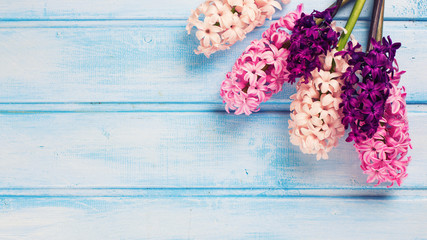 Background with pink hyacinths on blue painted  wooden planks.