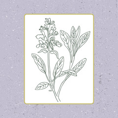 Black and white sage vector isolated. Hand drawn sage healing he