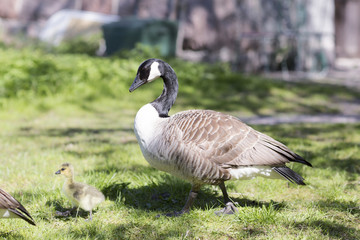 Family of geese through the grass. The wild geese in the summer on the grass in the Park.