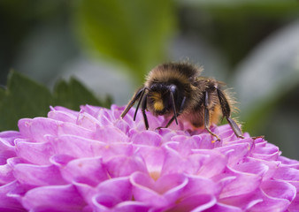 Bee on Dahlia Pompon