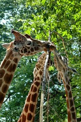 Close up of a family of reticulated giraffe eating; Head and neck portrait of a family of reticulated giraffe eating from a tree